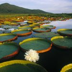 view post Pantanal Matogrossense national park in Brazil with giant Victoria Regia water lilies and lily pads