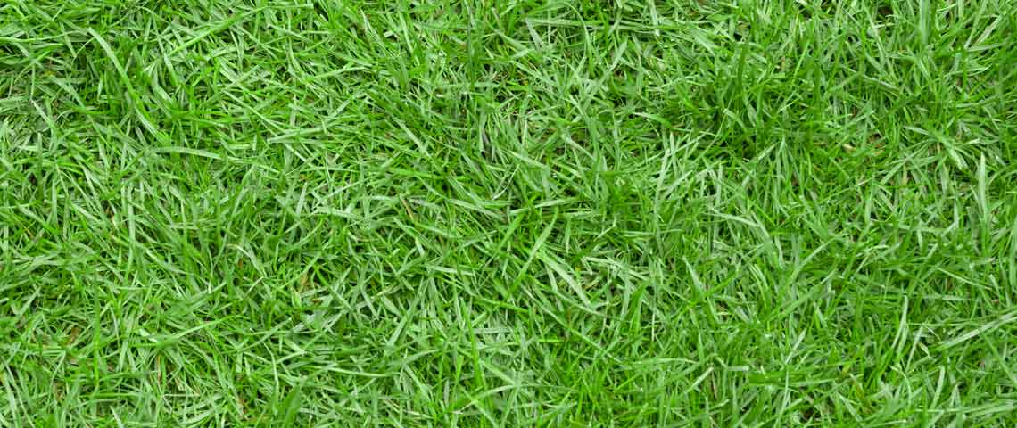 All You Need to Know About Zoysia Grass Header
